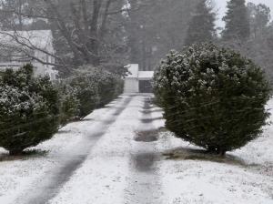 snowbush1