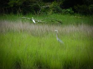 Heron Egret