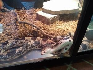 King snake1